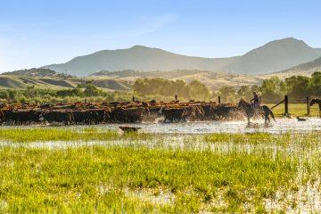 Montana Cowboys Ranching